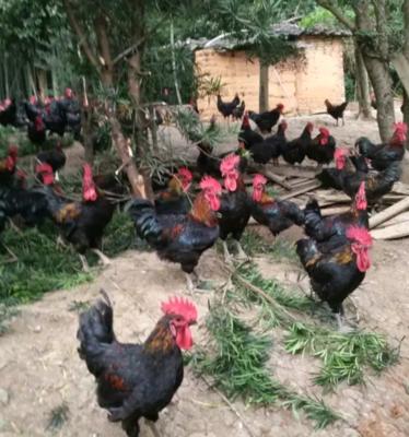山西省大同市阳高县土鸡 统货 2-3斤