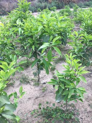 这是一张关于爱媛38号柑桔苗 挂果树 0.2~0.35米的产品图片