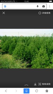 这是一张关于山地油松的产品图片
