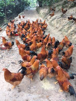 广西壮族自治区钦州市钦北区阉鸡 统货 5-6斤