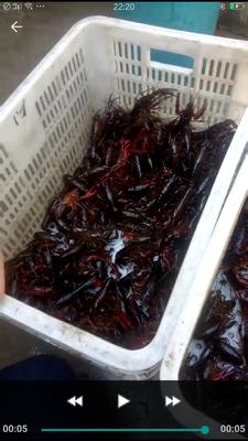 江苏省徐州市铜山区红壳小龙虾 湖虾 78910.0钱