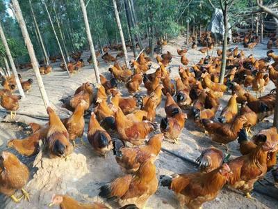 广西壮族自治区钦州市钦南区土鸡 统货 3-4斤