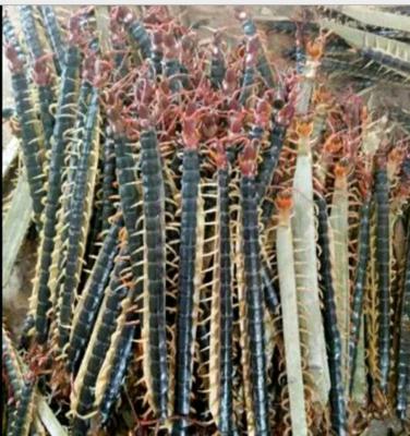山东省泰安市肥城市红头蜈蚣