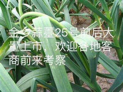 山东省济宁市金乡县金乡红帽蒜苔 一茬 60~70cm 精品