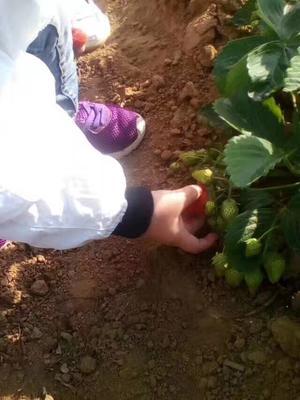 辽宁省鞍山市铁西区哈尼草莓 20克以下