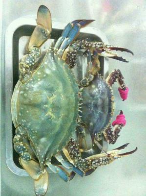 这是一张关于梭子蟹 2.5-3.0两 统货的产品图片