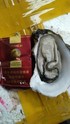 这是一张关于湛江牡蛎 人工殖养 5-10只/龙8国际官网官方网站的产品图片