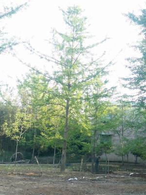 山东省临沂市郯城县银杏实生树