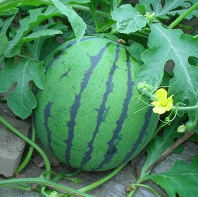 安徽省阜阳市太和县麒麟西瓜 无籽 1茬 8成熟 6斤打底