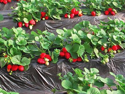 河北省保定市顺平县九九草莓 20克以上