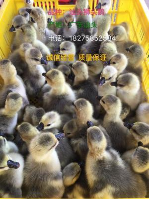 广西壮族自治区南宁市西乡塘区狮头鹅苗
