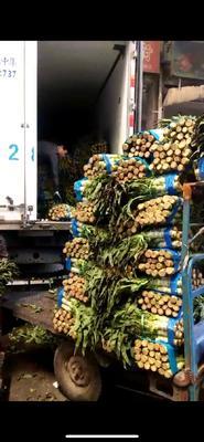 安徽省合肥市包河区红叶莴笋 50-60cm 1.5~2.0斤