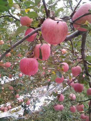 这是一张关于红富士苹果苗 0.5米以下的产品图片