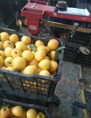 山东省临沂市沂水县黄油桃 3两以上 55mm以上