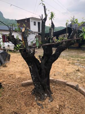 广西壮族自治区桂林市永福县金弹子 16~20公分