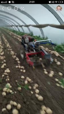 江苏省徐州市沛县荷兰15号土豆 2两以上