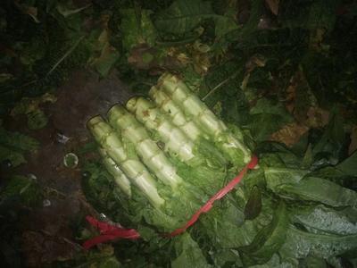 这是一张关于大白沙鹅苗的产品图片
