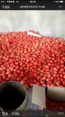 山东省济南市济阳县硬粉番茄 不打冷 大红 通货