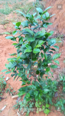 广东省梅州市蕉岭县茶花树 100~140cm