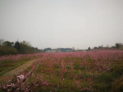 四川省德阳市罗江县胭脂脆桃 70mm以上 4两以上