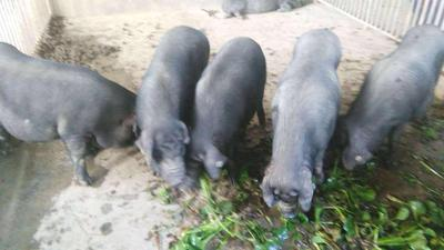 这是一张关于土猪 60斤以上的产品图片