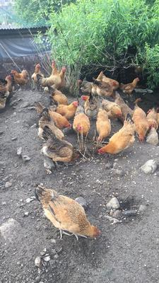 湖南省郴州市苏仙区瑶鸡 母 3-4斤