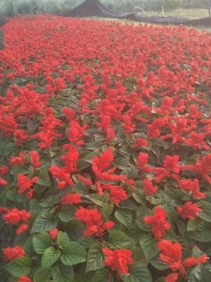 这是一张关于玫瑰红双色的产品图片