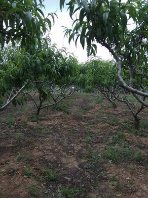 江苏省常州市新北区518油桃 1两以上 50mm以上