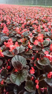 这是一张关于比哥海棠花的产品图片