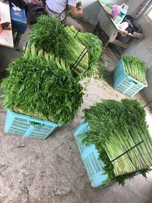 江苏省苏州市太仓市白苋菜 30-40cm 鲜绿