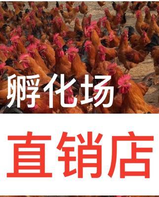 这是一张关于快大黄鸡苗的产品图片
