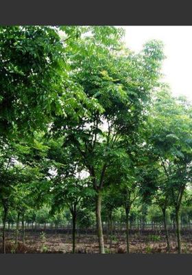 四川省成都市温江区栾树