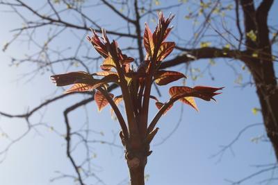 北京丰台区红香椿芽 露天种植 散装 统货