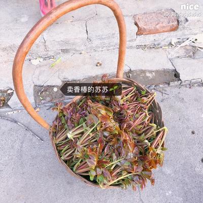 北京房山区红香椿芽 露天种植 散装 统货