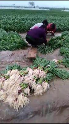 河南省安阳市内黄县红根蒜苗 40 - 45cm