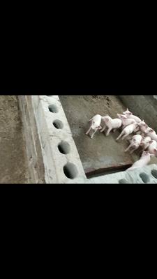 广东省佛山市南海区广西豪猪 100斤以上