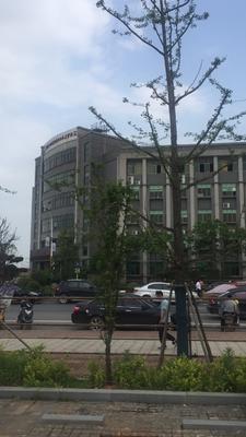 湖南省长沙市芙蓉区大叶文母 20~25cm