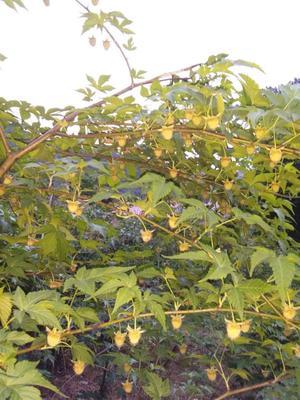 浙江省金华市东阳市野生树莓果干 鲜果