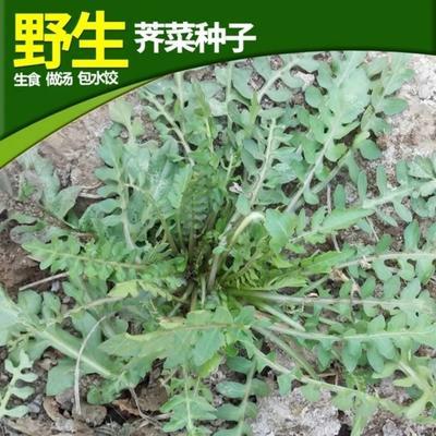 江苏省宿迁市沭阳县荠菜种子