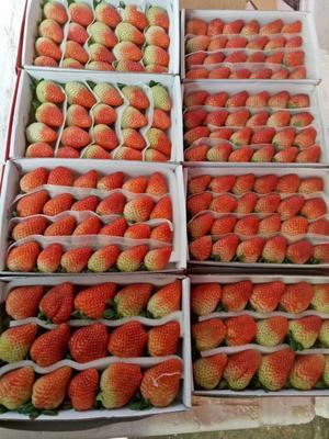 广东省广州市白云区蒙特瑞草莓 20克以上