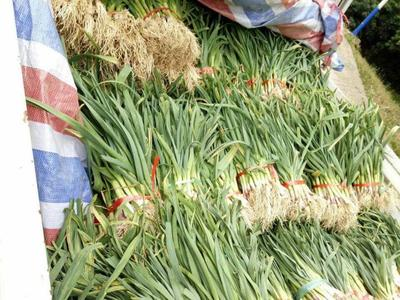 贵州省黔西南布依族苗族自治州晴隆县红根蒜苗 50 - 60cm