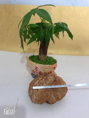 吉林省长春市双阳区东北猴头蘑 7~9cm