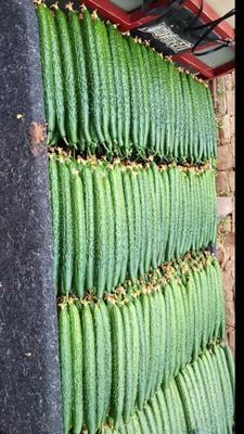 这是一张关于密刺黄瓜 25~30cm 干花带刺的产品图片