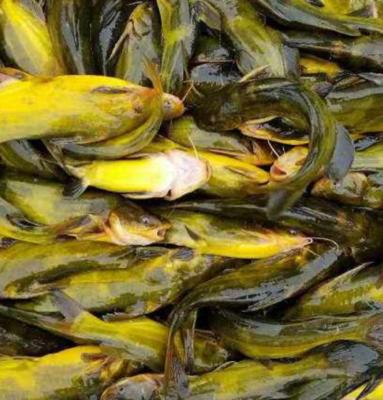 广西壮族自治区桂林市全州县池塘黄颡鱼 人工殖养 0.1公斤