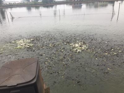 贵州省六盘水市六枝特区池塘黄颡鱼 人工殖养 0.1公斤
