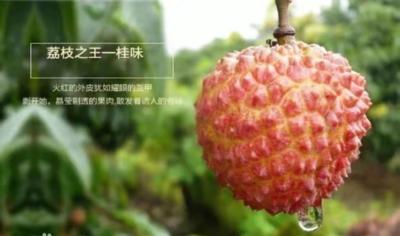 广东省茂名市高州市桂味荔枝 1.5cm