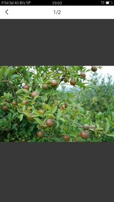 广西壮族自治区百色市右江区茶叶籽油