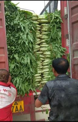 河北省保定市定州市青皮尖叶莴苣 60-70cm 1.5~2.0斤