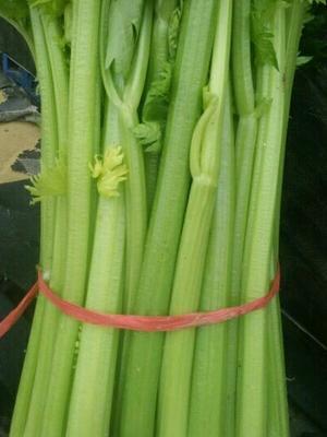 河南省商丘市柘城县皇妃芹菜 50~55cm 0.5斤以下 大棚种植