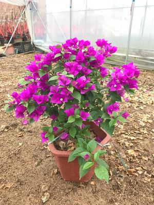 福建省漳州市龙海市紫花三角梅 0.5~1.0米
